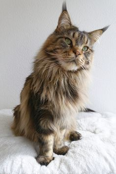 Adorable brown tabby Maine Coon cat with long dens by Bettina Sentner - Photo 150472055 - 500px