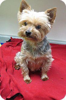 Santa Monica, CA - Yorkie, Yorkshire Terrier. Meet Jasmine a Dog for Adoption.
