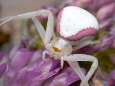 this is a Goldenrod crab spider