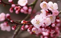 Red Cherry Blossom Wallpaper | Wallpaper Kid Galleries @ www ...