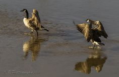 Canada Geese feeling frisky in the morning sun, Rio Grande Taos, New Mexico. Image prints, greeting cards and more at http://britt-runyon.pixels.com