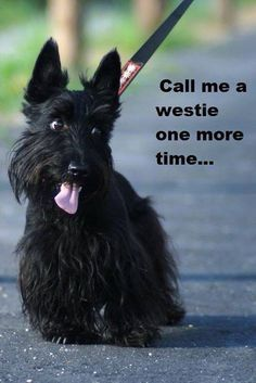 #yuki #yukituristainsolita #dog #scottishterrier #wheatscottie #cachorro  #pet #pets #petsofinstagram #petsgram #instapuppy #cute #instacute #instapet #puppylove #puppygram #scotties #terrier #scottishterriersofinstagram #puppiesofinstagram #scottieobsessed #scottiegram #scottishterribles #love #beautiful #cute #happy #followme #picoftheday #summer #instadaily #friends #tagforlikes #fun #smile #instalike #nature #instagood