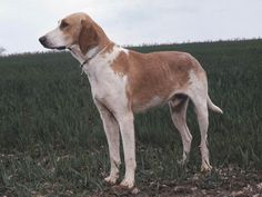 Grand Anglo-Francais Blanc et Orange Also known as the Great English-French White and Orange Hound, this breed is a direct crossing of the Billy and the Foxhounds in the late 1800s. They're pretty darn cute, and largely hunt Roe Deer, boar, and occasionally fox
