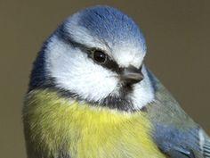 mésange bleue \\ British Birds - Garden Birds 01 - Most Common Small Birds, Little Birds, Colorful Birds, Colourful Garden, Pretty Birds, Beautiful Birds, Common Garden Birds, Common Birds, British Wildlife