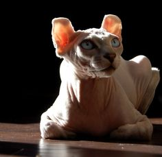 This is not a Sphynx cat. It's an Elf cat because it is slightly smaller and its ears look like a curly eared elf. It is a close relative to the Sphynx though! Sphynx, Hairless Cats, Elf Cat, Cornish Rex Cat, Sphinx Cat, An Elf, Cat Breeds, Pitbulls, Kitty Kitty