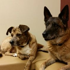 Waiting patiently for Dr Lord from Four Paws Veterinary Holistic Services.   They love her!