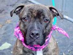 SAFE    JENNY_A1025812 **RETURNED 10/07/16**  SPAYED FEMALE, BR BRINDLE / WHITE, PIT BULL MIX, 2 yrs, 9 mos OWNER SUR – EVALUATE, HOLD FOR ID Reason NO ANSWER Intake condition EXAM REQ Intake Date 10/07/2016, From OUT OF NYC, DueOut Date ,  Medical Behavior Evaluation GREEN Medical Summary Scanned positive 985112000719824 QARH Mild dental tartar Allows handling Spayed Activyl applied for fleas prevention Nosf Weight 49.6
