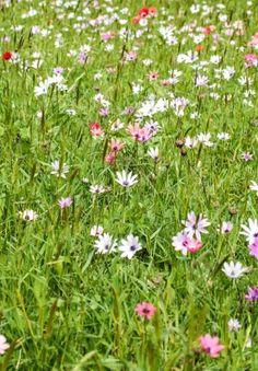 le ciste cistus est un arbuste de petite taille cultiv pour sa floraison massive grosses. Black Bedroom Furniture Sets. Home Design Ideas