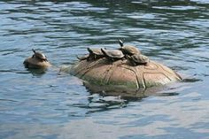 Baby turtles catching a ride