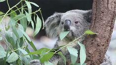 koala-chewing-endlessly