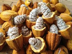 cocoa pods/fruit