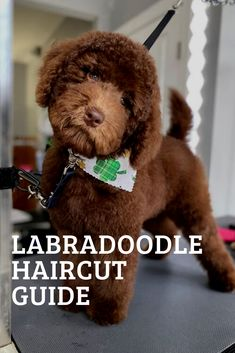 A good haircut helps your Labradoodle look fantastic and feel his best. To keep your doodle's coat mats free, you will need to give your labradoodle haircut Dog Grooming Styles, Dog Grooming Tips, Dog Grooming Supplies, Poodle Grooming, Dog Grooming Business, Grooming Salon, Dog Haircuts, Labradoodle Haircuts, Goldendoodle Grooming