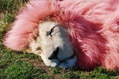 pink lion - Google Search