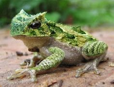 Cranwell's horned frog (Ceratophrys cranwelli), also called the Chacoan horned frog, is a terrestrial frog endemic to the dry Gran Chaco region of Argentina, Bolivia, Paraguay and Brazil.