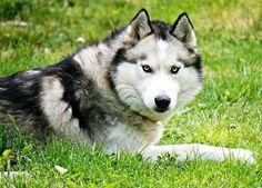 Male husky, f (& owner) Sonya Marie Hunt