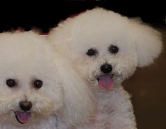 Those sweet little Bichon button noses & eyes! ❤️