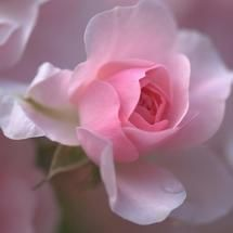 The Delicate Rose  <3