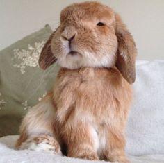 Rambo the bunny. Cute Baby Bunnies, Funny Bunnies, Cute Baby Animals, Animals And Pets, Funny Animals, Tier Fotos, Cute Creatures, My Animal, Pet Birds