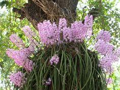 Esta foi a maior promoção de orquídeas do Brasil - Em breve teremos a próxima Importação coletiva da Tailândia Fevereiro de 2017  ...