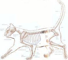 Cat Skeleton - I like the up tail, seems friendlier.  Combo of this and the other cat skeleton I pinned.