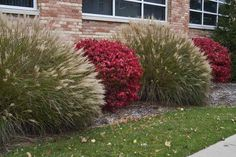 Full size picture of Dwarf Burning Bush, Cork Bush, Winged Euonymus 'Compacta' (Euonymus alatus)