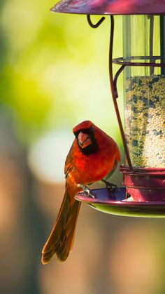 Cardinals are ashade of red you can't take your eyes off, and can notice in mostbackyards and arefrequentvisitors to feeder areas.