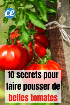 10 Gardener Secrets for Growing Beautiful and Big Tomatoes Easily. Best Chicken Coop, Chicken Feed, Potager Garden, Garden Plants, Culture Tomate, Vertical Vegetable Gardens, Real Plants, Growing Tomatoes, Horticulture
