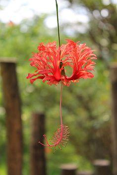 love this hibiscus Unusual Flowers, Beautiful Flowers, Hibiscus Flowers, Pink Flowers, Hibiscus Schizopetalus, Beautiful Gardens, Flower Power, Planting Flowers, Bloom