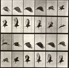 Eadweard Muybridge - Sequence of Bird in Flight - 1883-1886  Why is it useful to see so many photos one after one another?