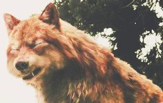""""""" ✚ WOLF/WEREWOLF GIF HUNT ✚ """" As requested by myself, here is a gif hunt containing #418 small, hq gifs of wolves/werewolves/shape-shifters. These gifs are from The Twilight Saga and can be used in..."""