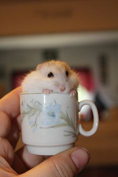 9 Hamsters extra cute than others Baby Hamster, Cute Little Animals, Cute Funny Animals, Rats Mignon, Funny Hamsters, Robo Dwarf Hamsters, Cute Rats, Cute Creatures, Pet Birds