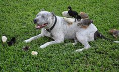 Meet Sharky, The Pit Bull Who Is Friends With Bunnies, Cats, And Ducks Read more at http://www.inquisitr.com/1524898/meet-sharky-the-pit-bull-who-is-friends-with-bunnies-cats-and-ducks/#LK6weX3ZHmJ6jyjS.99 Sharky The Pit Bull's Adventures With Misc. Fury Friends