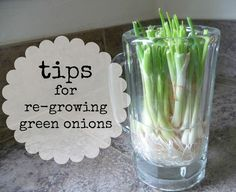 tips for re-growing green onions from scraps