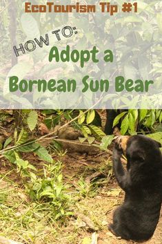 Bornean Sun Bears are wonderful creatures, essential to the health of the rainforests of Borneo. Unfortunately they are under attack. Find out how you can support the work of conservationists by adopting one of these sweet creatures. Do your bit as an eth Travel Articles, Travel Advice, Travel Tips, Travel Ideas, Travel Pictures, Travel Photos, Bear Species, Rainforests, Blog Love
