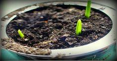 Aprende a plantar Ajos en casa fácilmente – Sin necesidad de tener jardín