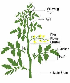 Pruning is a common part of tomato plant care. The right time and proper way of . Pruning is a com Tomato Plant Care, Pruning Tomato Plants, Tomato Seedlings, Caring For Tomato Plants, Container Gardening Vegetables, Planting Vegetables, Growing Vegetables, Growing Tomatoes, How To Prune Tomatoes