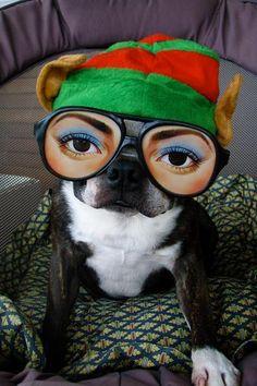 Scary Boston Terrier elf