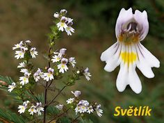 svetlik-ucinky-na-zdravi-co-leci-pouziti-uzivani Medicinal Herbs, Plants, Flora, Plant