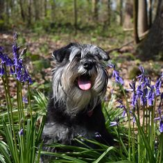 Maybe you've just adopted a Schnauzer into your family and don't know what to call them yet. If you're looking for the best name for a Schnauzer dog, you've come to the right place! Here are 30 of the best sweet names for Schnauzer dogs! Best Dog Names, Best Dogs, Schnauzer Dogs, Schnauzers, Dog Pictures, Animal Pictures, Overweight Dog, Pregnant Dog, Dog Information