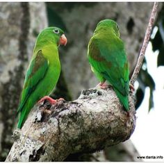 Mealy Parrots #birdsofinstagram #bird #parrot #bestbirdshots #allmightybirds #kings_birds #rainforest #costarica #osapeninsula #puravida #wildlifephotography #DANTA