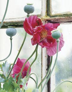 poppies on the windowsill