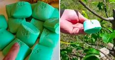 If you're concerned about pesky rabbits, deer and other herbivores munching on your trees and plants, look no further than Irish Spring soap. Irish Spring smells wonderful, but there is more to this soap than its great scent. Irish Spring soap can … Get Rid Of Squirrels, Rabbit Repellent, Rabbit Deterrent, Organic Gardening, Gardening Tips, Pot Plante, Little Gardens, Garden Pests, Garden Bugs