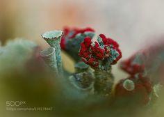 British soldiers lichen by Halina #nature #photooftheday #amazing #picoftheday