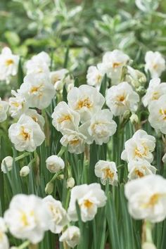 Daffodil Bridal Crown produces heavily fragrant cream double flowers on mid length stems ideal for flowering indoors or outdoors in borders near the house where the scent can be enjoyed.  Flowering height: 35cm