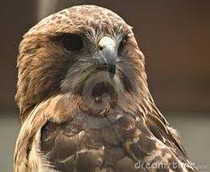 Red eyed hawk @Korry stiehr