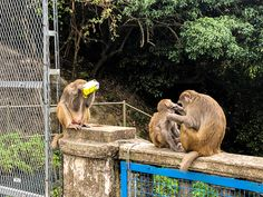 Some weeks ago, we decided to go on a smaller hike to see monkeys at Monkey Hill, Kam Shan Country Park. It combines monkeys (which I must admit, are always fun to watch) and a small hike to have a healthy Sunday. Monkeys, Hong Kong, To Go, Hiking, China, Park, Country, My Style, Fun