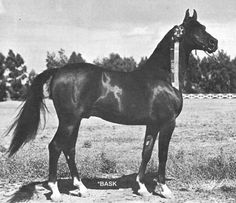 Bask - Arabian - 1956 purchased by Gene LaCroix - died July 24, 1979 his stud fees went from $500 in 1963 to $10,000 in 1975 - Bask sired 1045 purebred foals