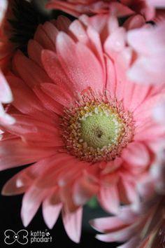garbera flower