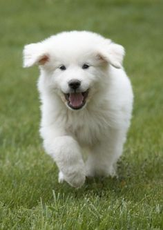 great pyrenees - someday when I have a yard. :).