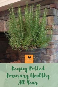 Find out how to bring your rosemary plant indoors and enjoy it for the winter and beyond. Find out how to bring your rosemary plant indoors and enjoy it for the winter and beyond. Herbs Indoors, Garden Types, Container Gardening, Rosemary Plant, Veggie Garden, Plant Care Houseplant, Planting Herbs, Plants, Planting Flowers
